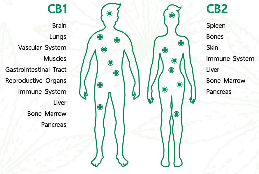 The endocannabinoid system is primarily made up of two receptors: CB1 and CB2 cannabinoid receptors.